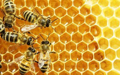 بدخشان سالانه ۲۱۰۰ کیلوگرام عسل تولید می کند