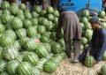 حاصلات تربوز در فراه، ۵۰ درصد افزایش یافته است