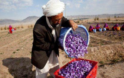 زعفران افغانستان در سراسر آمریکا توزیع میشود