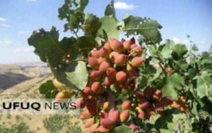 افزایش ۱۵ درصدی حاصلات پسته در هرات