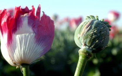 تلاش وزارت زراعت برای ترویج کشت زعفران و گیاه الویرا به جای کوکنار