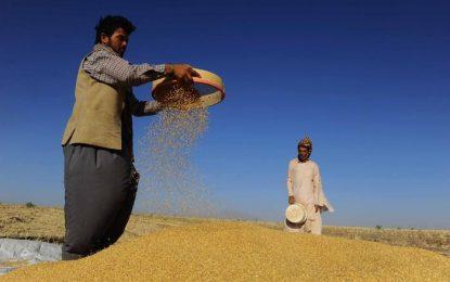 افزایش ۴۲ درصدی تولید گندم در کشور