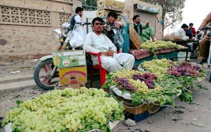 افزایش بیسابقه تولید انگور در قندهار و هلمند
