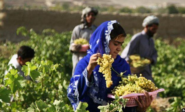 تولیدات انگور هلمند ۵۰ درصد افزایش یافته است