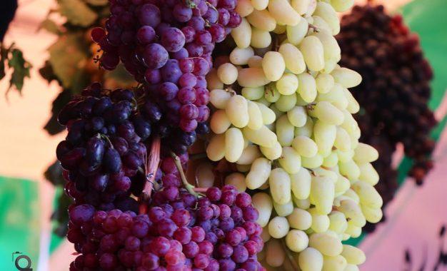 جشن انگور و عسل هرات؛ حاصلات افزایش یافتهاست