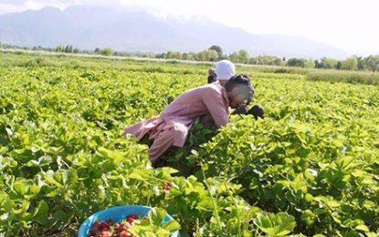 حاصلات توت زمینی در ننگرهار افزایش چند برابر را در سال روان داشته است