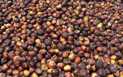 افزایش ۷ درصدی محصولات انجیر هرات