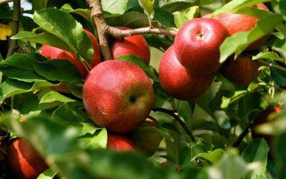 حاصلات سیب دایکندی به ۳۵ هزار تن رسید