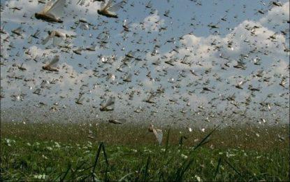 هجوم ملخها به کشتزارها در ولایت غور، محصولات زراعتی این ولایت را متضرر کرده است