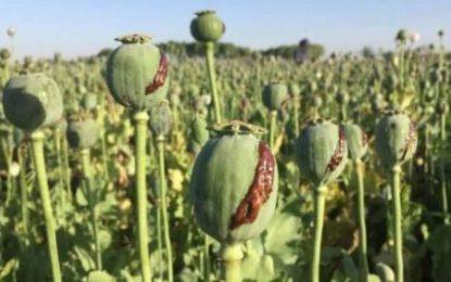 وزارت مبارزه با مواد مخدر: تولید مواد مخدر در سال جاری ۲۹ درصد کاهش یافته است