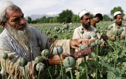وزارت داخله: طالبان مردم را مجبور به کشت کوکنار میکنند