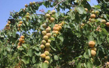 امسال حاصلات زردآلو در پروان به ۲۴ هزار تُن میرسد